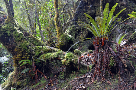 beech tree: Moss covered Beech trees and Ferns on the  Oparara Basin walking track, West Coast, New Zealand Stock Photo