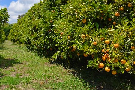 Sinaasappelboomgaard met rijp fruit in Motueka, Nieuw-Zeeland. Stockfoto