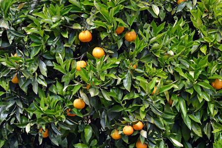 naranja: Cloeup vista de árbol anaranjado con las hojas y las naranjas maduras en pleno verano, Motueka, Nueva Zelanda.