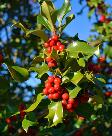 red berries: Christmas Holly Tree with clusters of red berries and green leaves on a perfect cold clear winter day.