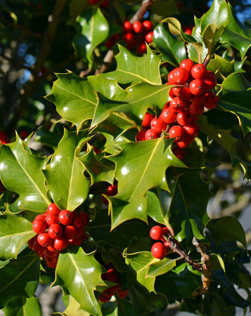 holly day: Closeup view of Christmas Holly Tree with clusters of red berries and green leaves on a perfect cold clear winter day. Stock Photo