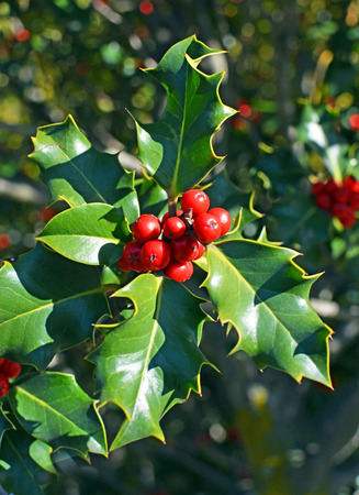 holly day: Closeup view of Christmas Holly Tree with clusters of red berries and green leaves and foliage on a perfect cold clear winter day.