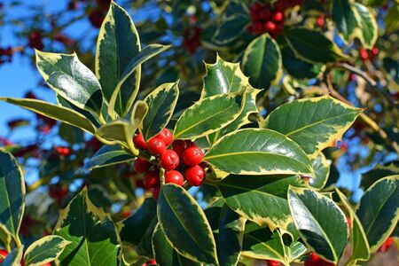 variegated: Closeup view of Christmas Holly Tree with clusters of red berries and variegated green leaves and foliage on a perfect cold clear winter day.