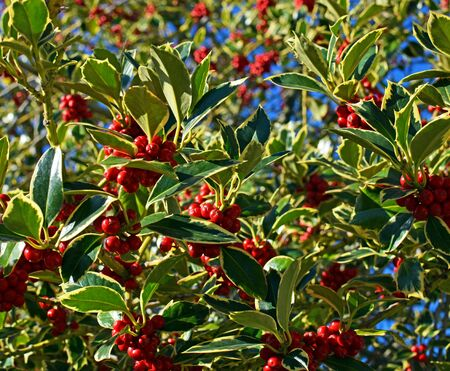 variegated: Background of Christmas Holly Tree with clusters of red berries and variegated green leaves and foliage on a perfect cold clear winter day.
