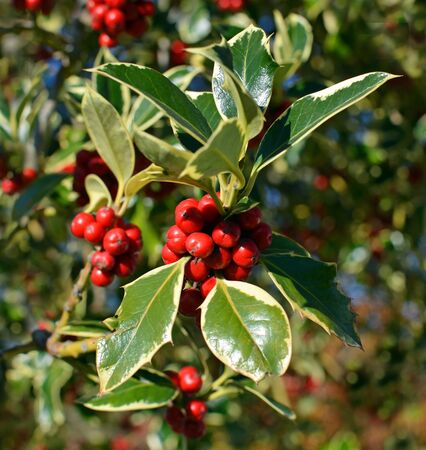 Closeup view of Christmas Holly Tree with clusters of red berries and variegated green leaves and foliage on a perfect cold clear winter day.