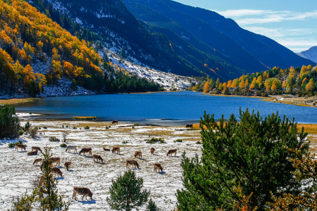 Cows in Estany de Maurice National Park in Pyrenees, Spain photo