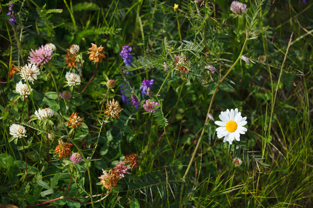 champ de fleurs: Forest and field flowers close up, Alps, Italy Banque d'images