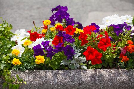 petunias: Flowerbed with petunias standing in the street
