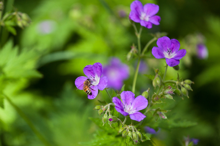 bluebell: Bee set on bluebell flower in the mountain forest, Alps Stock Photo