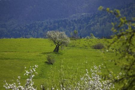 Blooming apple tree in the mountains, Carpathian, Ukraine Stock Photo