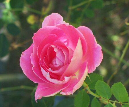 평온한 원더 로즈 꽃