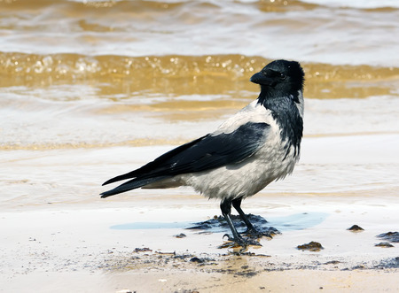 front or back yard: Magpie on the coast