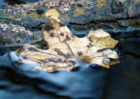fallen leaf: Transition to a new state. Fallen leaf of maple on the water at the forest.