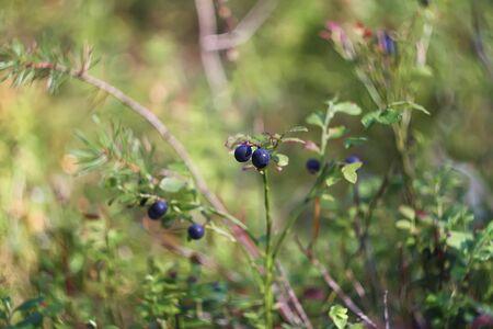 Ripe blueberry cluster on a blueberry bush Stock Photo