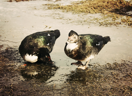 Domestic duck on farm yard background. Vintage effect style. Stock Photo