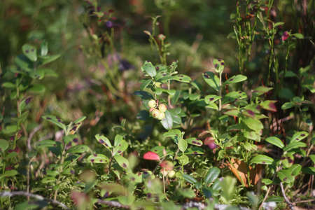 horticultural: Ripe blueberry cluster on a blueberry bush Stock Photo