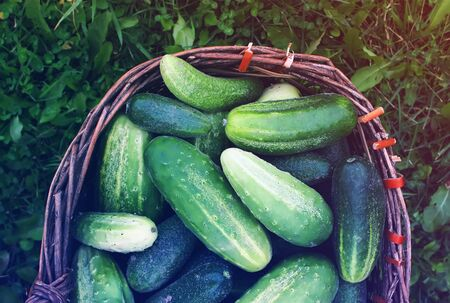 Fresh ripe cucumbers in the old basket Stock Photo