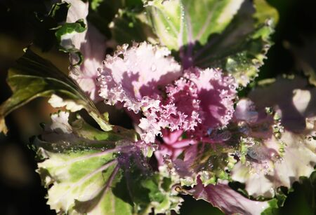Purple decorative cabbage in the garden with water drops.