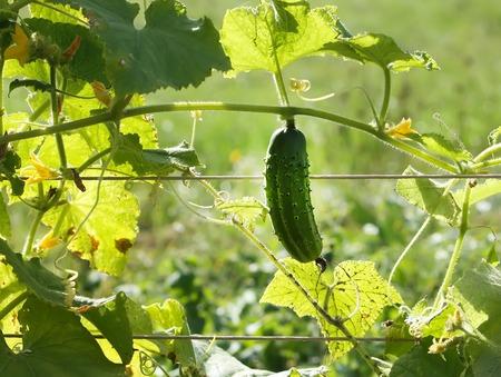 Fresh ripe cucumbers growing in the kitcnen-garden Stock Photo