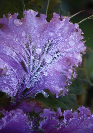 flowering kale: Purple decorative cabbage in the garden with water drops.