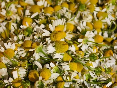 matricaria: Chamomile, Lat. Matricaria chamomilla flowers close up