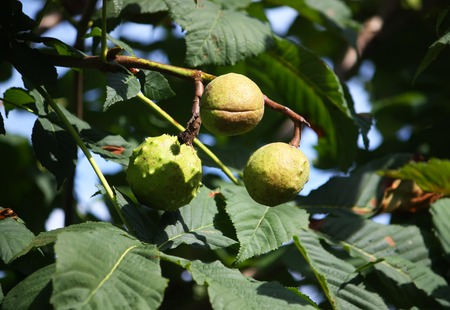 horse chestnuts: Horse chestnuts on a tree branches in summer park