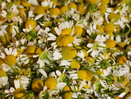 chamomilla: Chamomile, Lat. Matricaria chamomilla flowers close up