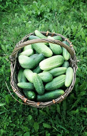 tendrils: Fresh ripe cucumbers in the old basket Stock Photo