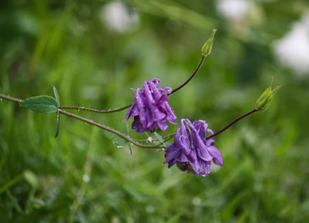 common snapdragon: Purple flower of European columbine Aquilegia vulgaris . Stock Photo