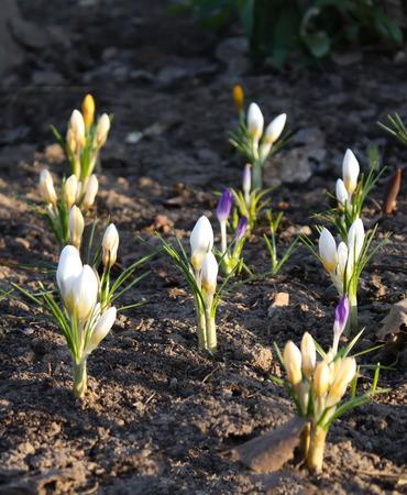 awaking: Crocus flowers in sunlight growing in a spring garden outdoors