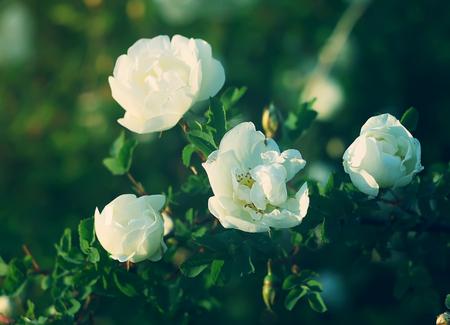 crimean: White flowers of briar rose in a summer park. Rose Alba.