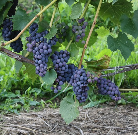 wine growing: Ripe grapes on a wine growing in the garden
