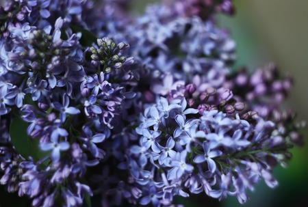 lillac: Lillac purple fragrant flowers in the summer park Stock Photo