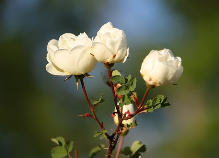 briar: White flowers of briar rose in a summer park. Rose Alba.