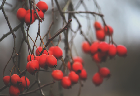 laevigata: Howthorn ripe red berries on the tree branches outdoors