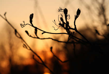 siloette: Branches with little leaves in front of sunset sky