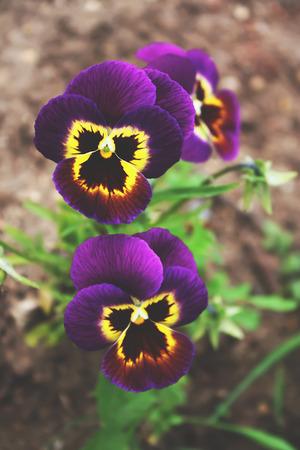 Purple pancy flowers growing in a summer garden