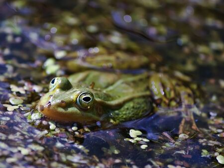duckweed: Green frog swimming in the pond with duckweed