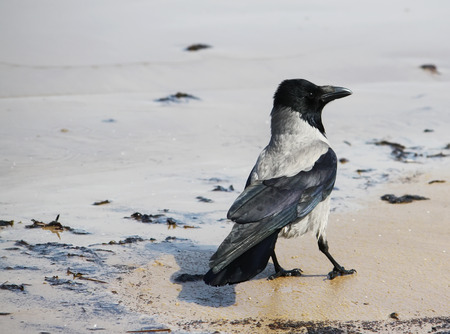 front or back yard: Crow on a ground outdoors in sunlight