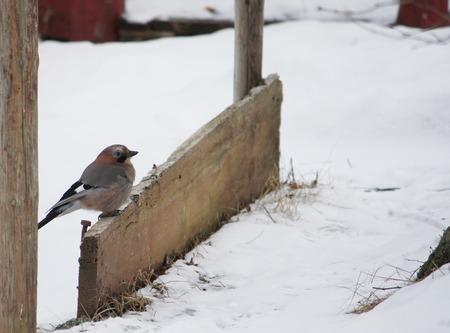 corvidae: Eurasian jay, Garrulus glandarius bird at winter outdoors Stock Photo