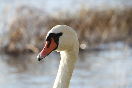 White swan on the lake head close up Stock Photo