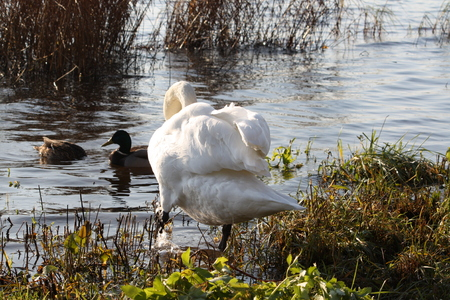 White swan near the water in wild nature