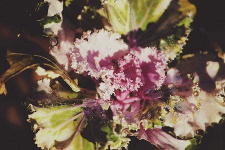 brassica: Decorative violet Cabbage brassica oleracea with dew drops close up
