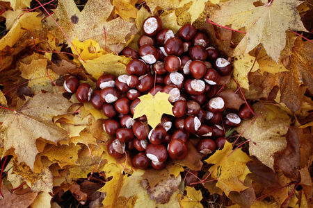 horse chestnuts: Ripe horse chestnuts on autumn leaves background