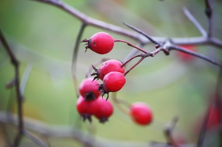 Ripered hawthorn berries on a tree at autumn. Stock Photo