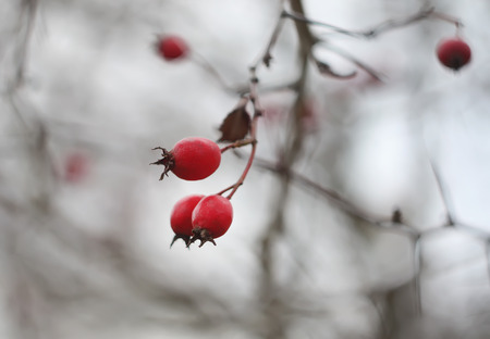 complementary therapies: Ripered hawthorn berries on a tree at autumn. Stock Photo