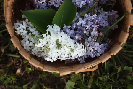 lillac: Lillac purple flowers in a basket on a green grass background
