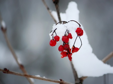 Viburnum tree with ripe red berries on snow-covered branches