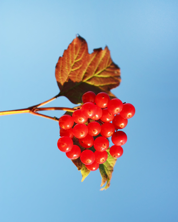 Viburnum tree with ripe red berries on the branches Stock Photo
