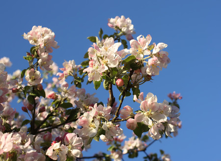 yellow stamens: Blooming apple tree in spring time outdoors